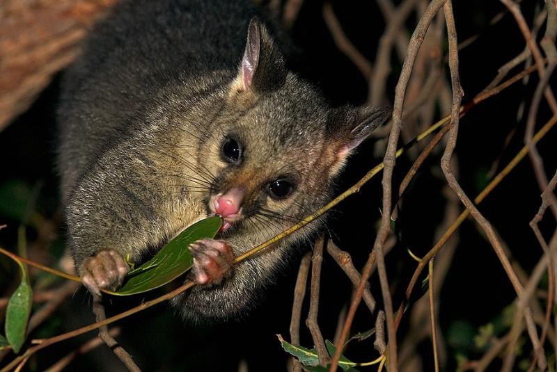 Редкий вид поссума в Австралии. Фото