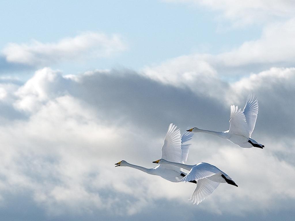 Лебеди летят по небу фото