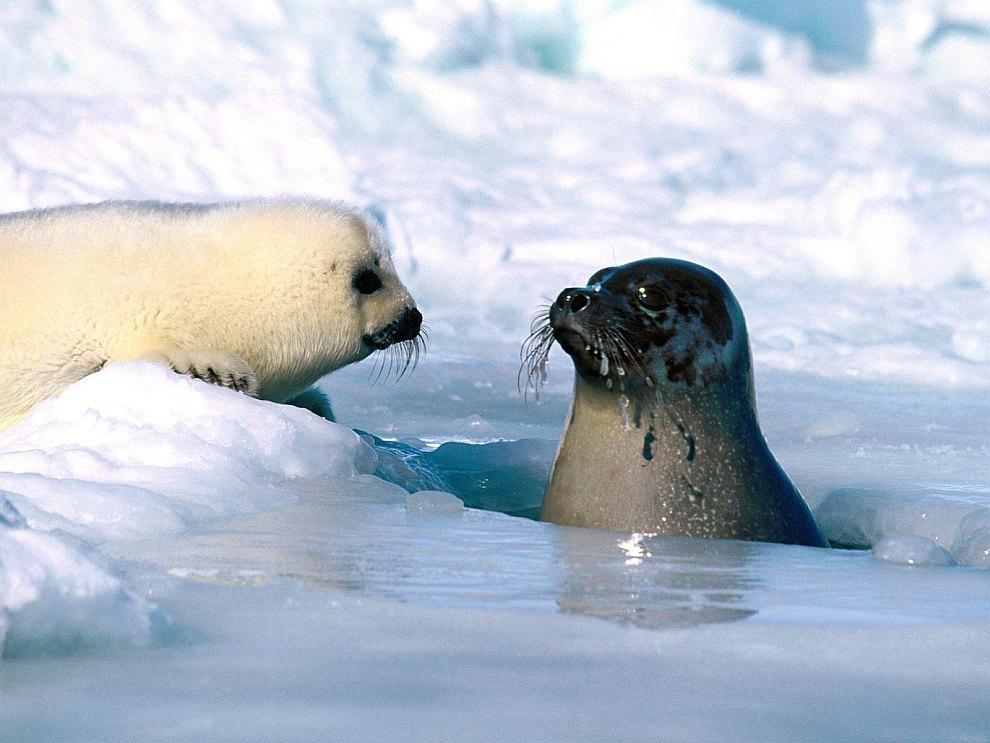 гренландские тюлени фото