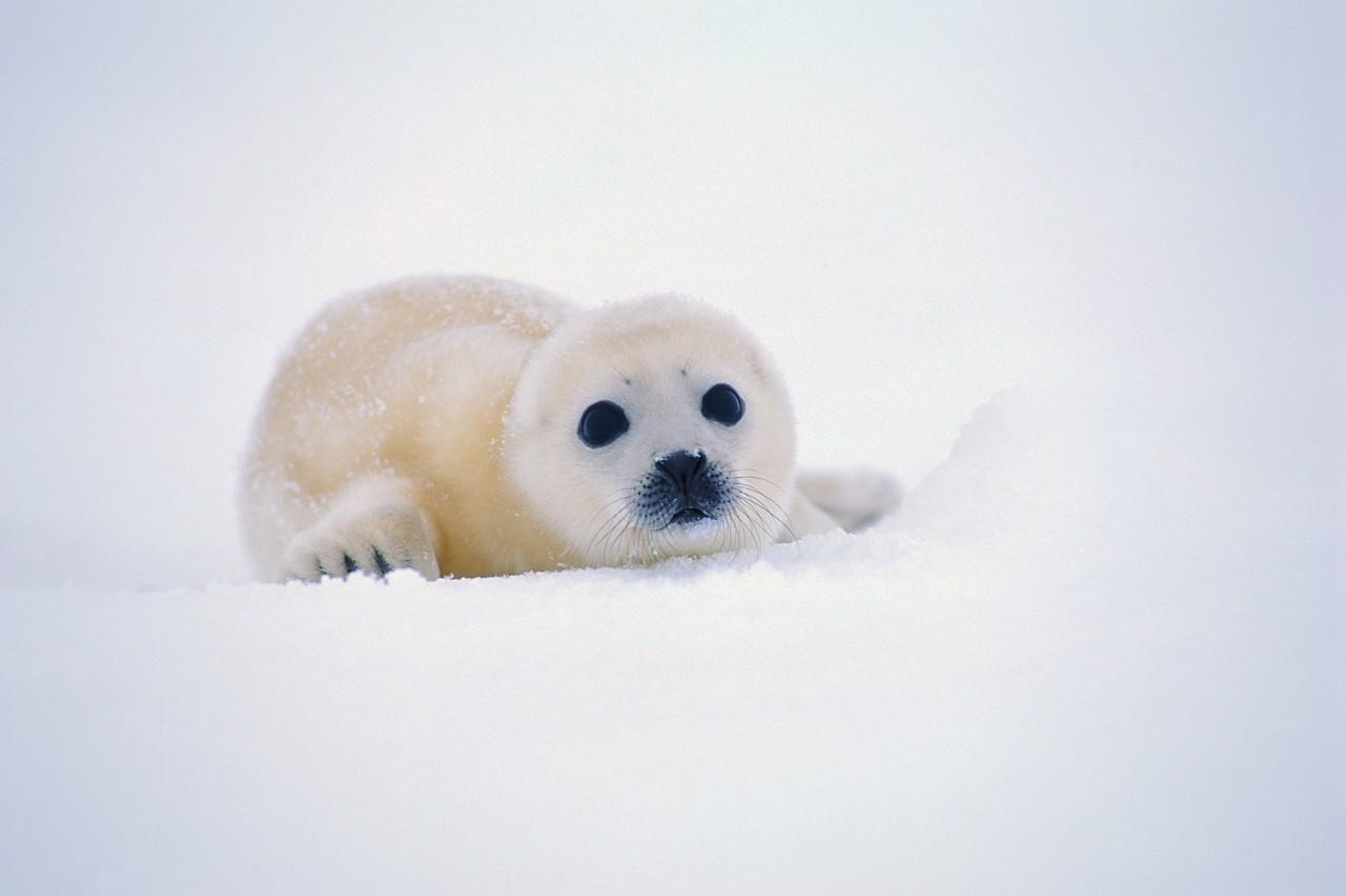 детёныш гренландского тюленя белёк фото