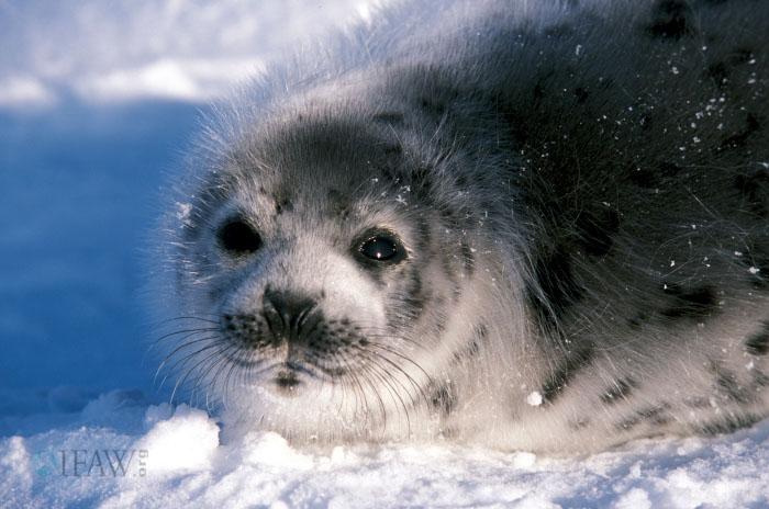 детёныш гренландского тюленя серка фото