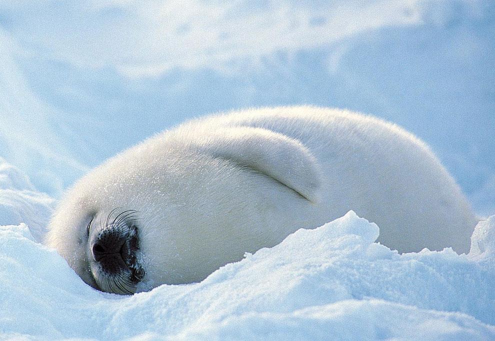 Росрыболовство дало ответ по поводу массового забоя тюленей на колбасу