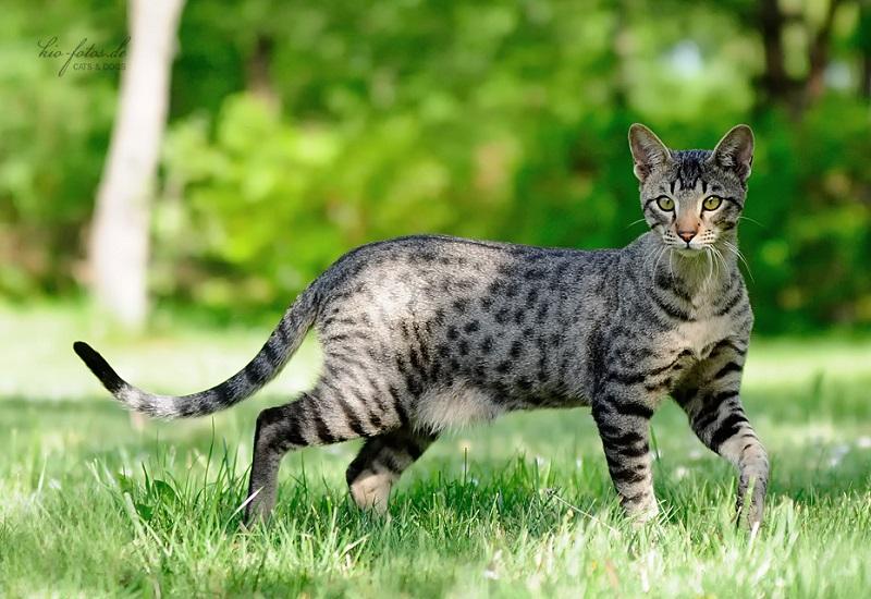 Кошка породы саванна. Фото