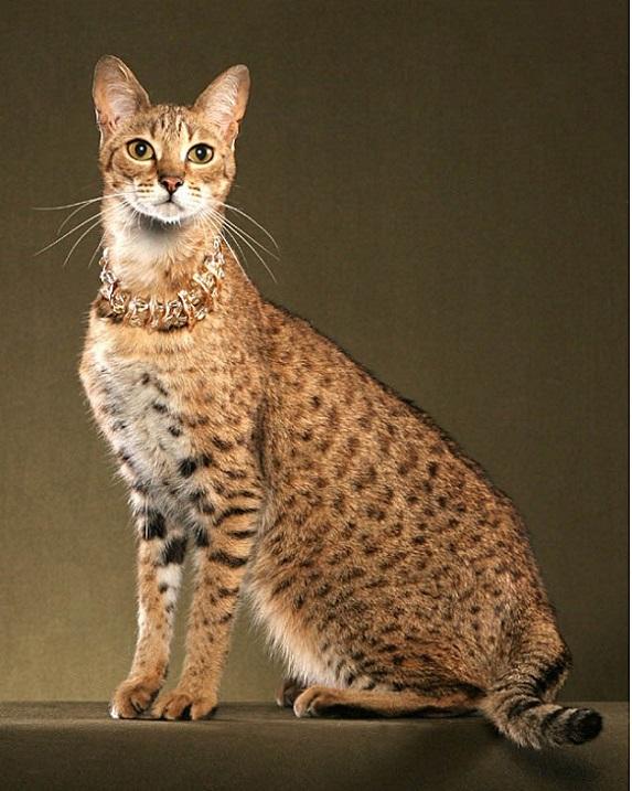 порода кошек-саванна фото