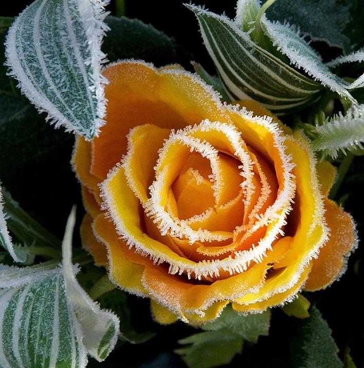 Растения, покрытые инеем. Фото. Желтая роза