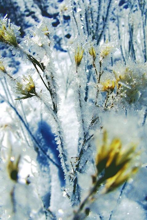 Растения, покрытые инеем. Фото
