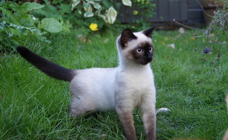 сиамских котов и кошек