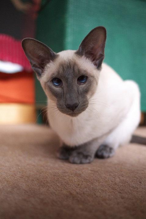 кошки сиамской породы фото