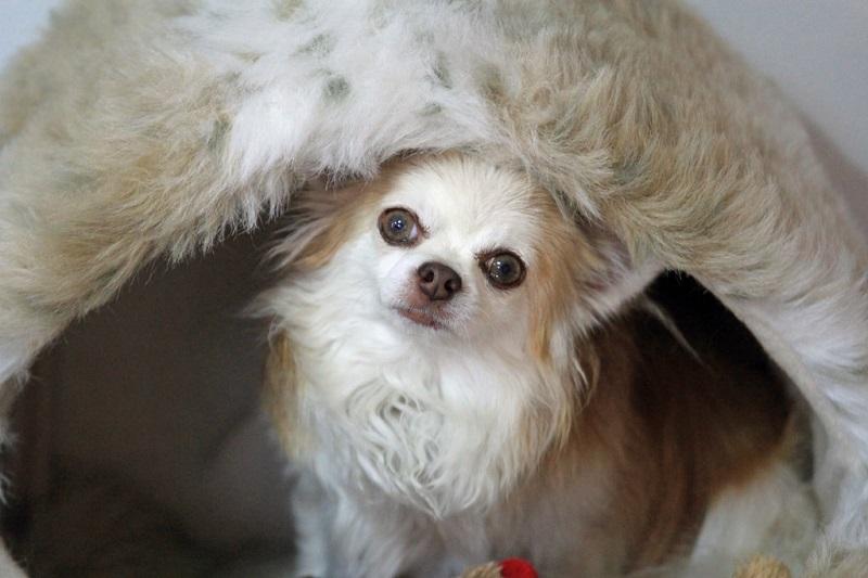 Аксессуары для собак чихуахуа