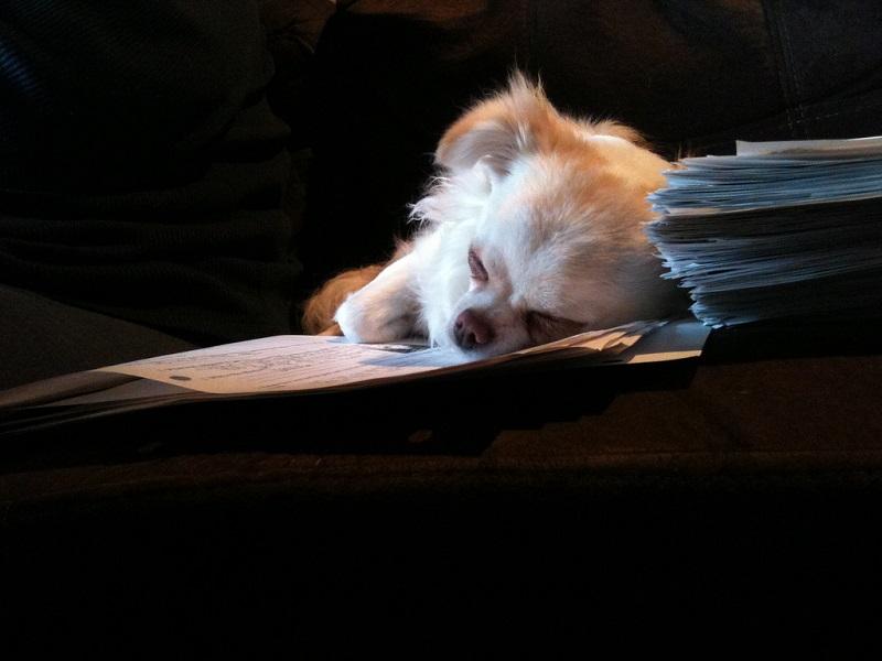 Собака чихуахуа. Фото