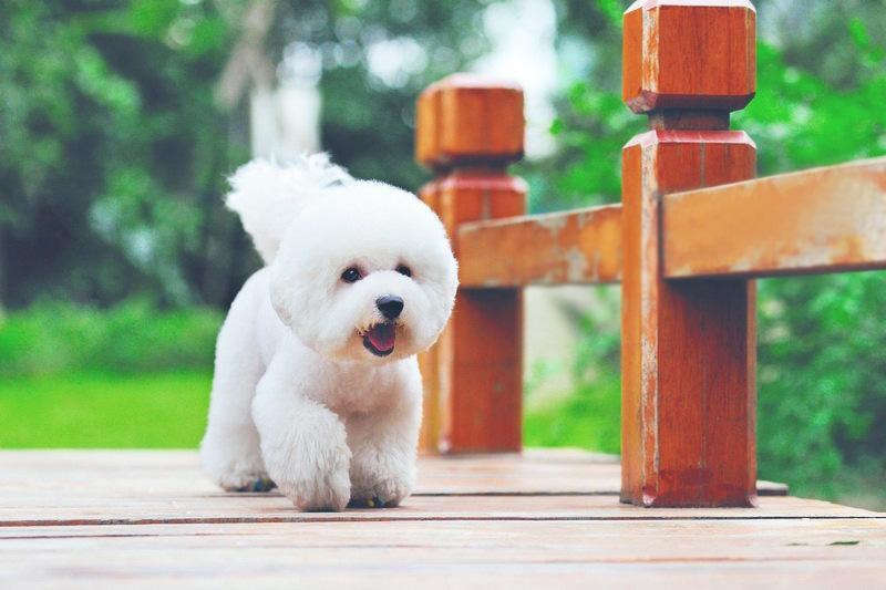Порода собак бишон фризе. Фото