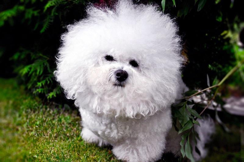 фото собаки порода бишон фризе