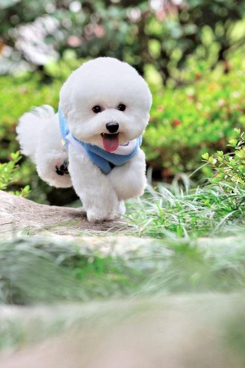 порода собак бишон-фризе фото
