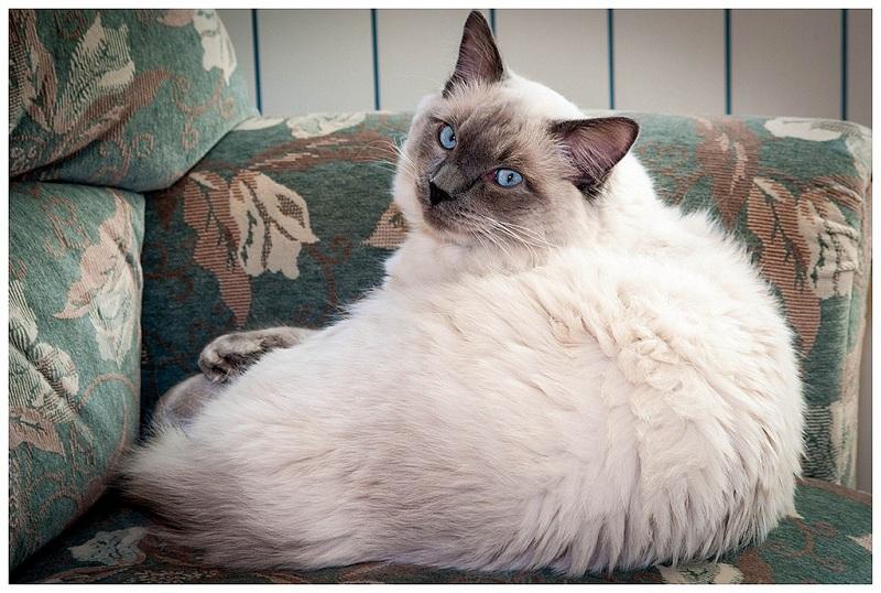 рэгдолл кот фото