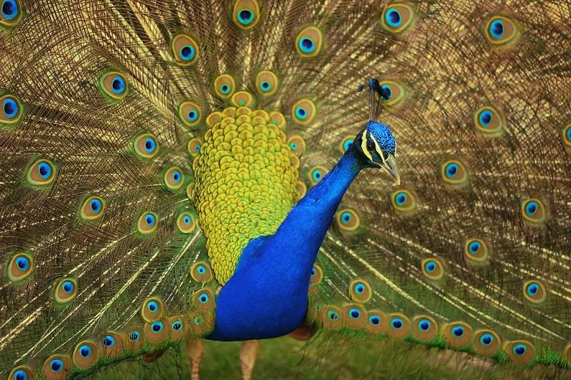 Красивые птицы павлины. Фото