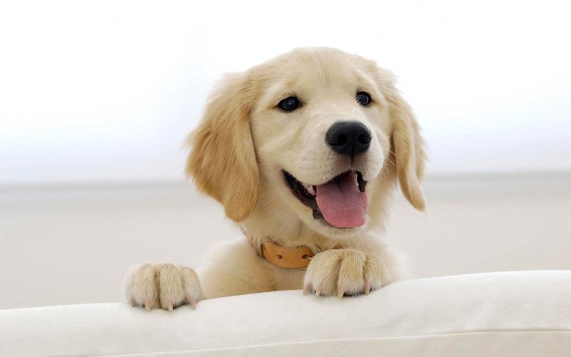 20 авг 2014. Золотистый ретривер, или голден ретривер – крупная порода охотничьих собак, выведенная в великобритании в конце xix века. Высокий интеллект и замечательный характер делают их универсальными животными, которые прекрасно справляются с различными ролями поводыря для.