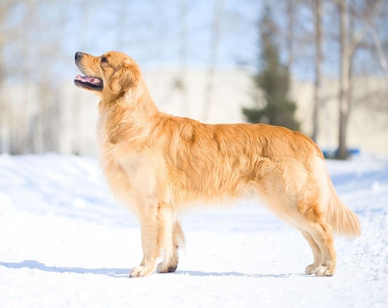 золотой ретривер фото собака