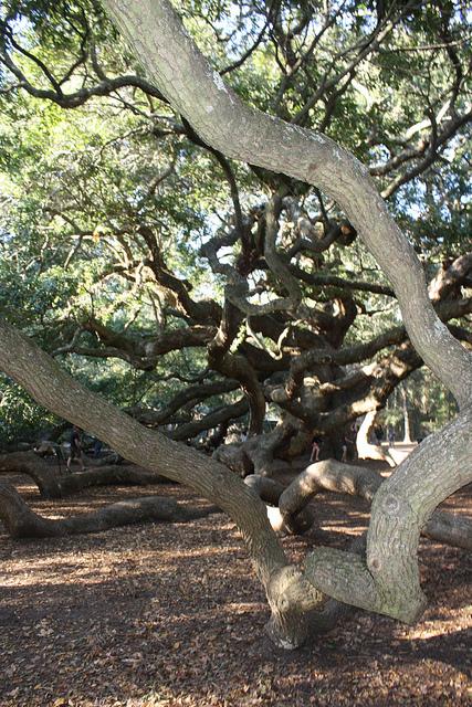 Необычные деревья. Дуб Ангела. Фото