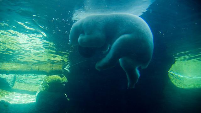 Белый медведь в зоопарке Сан-Диего. Фото