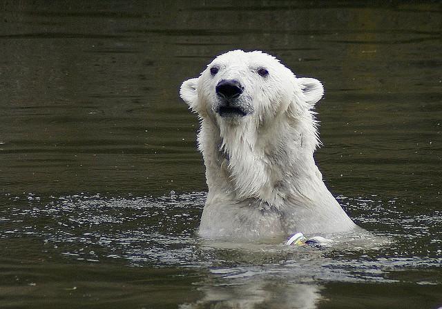 Белый медведь в бассейне. Фото