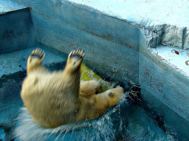 Белый медведь играет. Фото