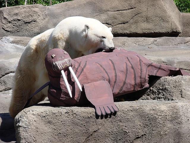 Белый медведь с картонным моржом. Фото