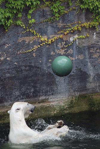 Белый медведь с мячиком. Фото