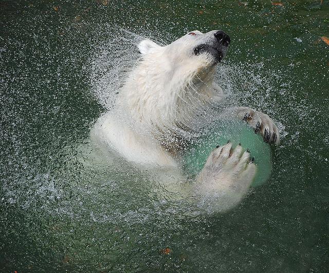 Белый медведь играет с мячиком. Фото