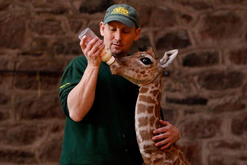 Кормление детеныша жирафа. Фото