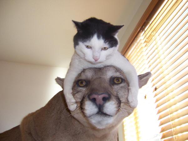 Кот верхом на пуме. Фото
