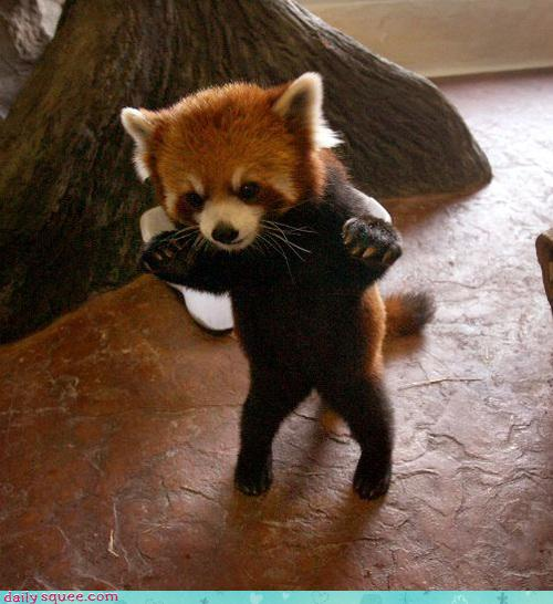 http://udivitelno.com/images/stories/red-panda/17.jpg