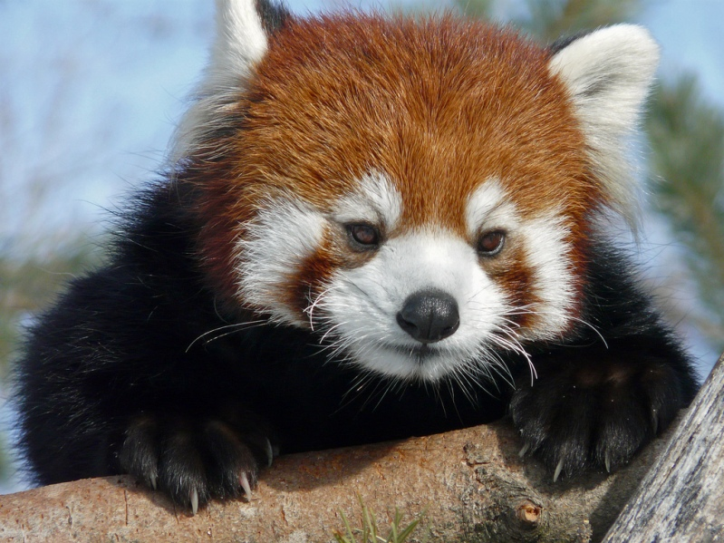 http://udivitelno.com/images/stories/red-panda/33.jpg