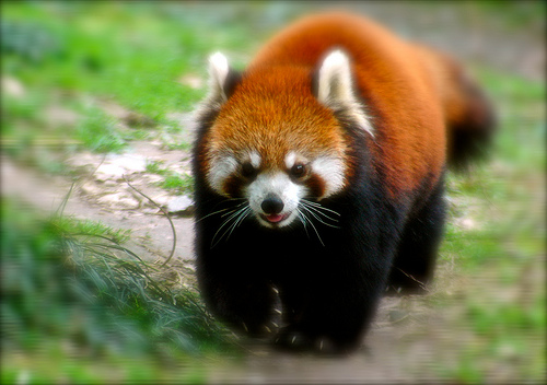 http://udivitelno.com/images/stories/red-panda/37.jpg