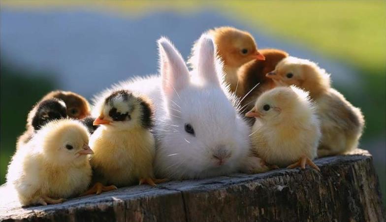 Дружба животных. Кролик и цыплята