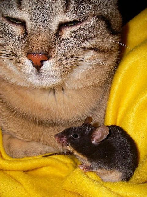 Дружба животных. Кот и мышь