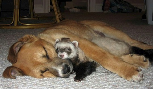 Дружба животных. Собака и хорек
