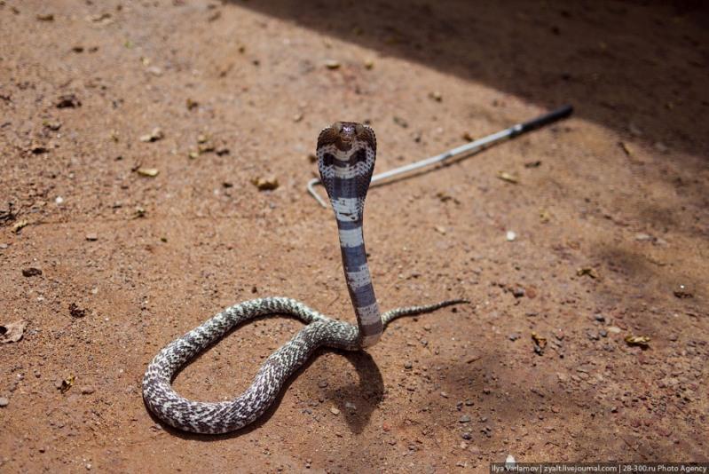 Кобра. Дом укротителя змей. Фото