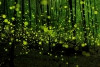 Светлячки в лесах Японии (21 фото)