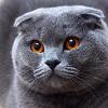 Шотландская вислоухая кошка (описание, 30 фото)