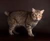 Пиксибоб - кошка, похожая на рысь (18 фото, описание породы)