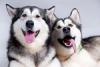Порода собак аляскинский маламут (описание, 36 фото)