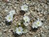 Цветущая пустыня Анза Боррего, Калифорния (35 фото)