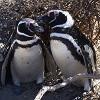Магеллановы пингвины в заповеднике Пунта Томбо (Аргентина). 30 фото