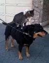 Коты-наездники. Фото и видео