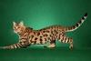 Бенгальская кошка (описание, 32 фото)