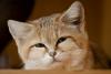 Барханный кот (27 фото)