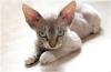Порода кошек девон-рекс (описание, 25 фото)