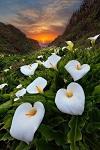 Цветы каллы в калифорнийской долине (9 фото)
