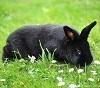 Кролик породы Аляска, описание и фото