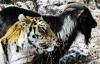 Тигр Амур и козел Тимур – дружба хищника и жертвы (20 фото, 2 видео)